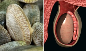 05-Clams-TesticlesFoods-That-Look-Like-Body-Parts-1-300x177